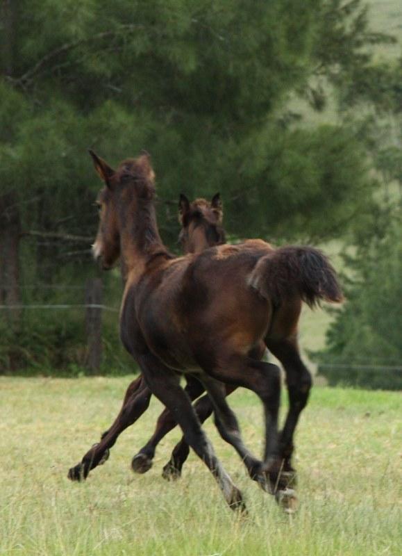foal pas de deux 2 (579x800)